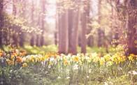 spring-daffodils_2845661b